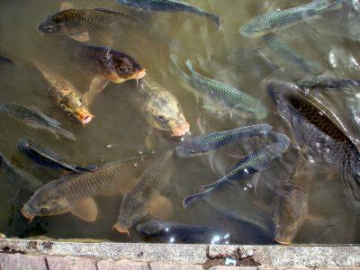 Comprehensive Park carp