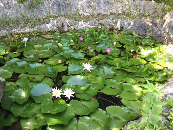 waterlillies in a pond at Bones BBQ Restaurant, Okinawa