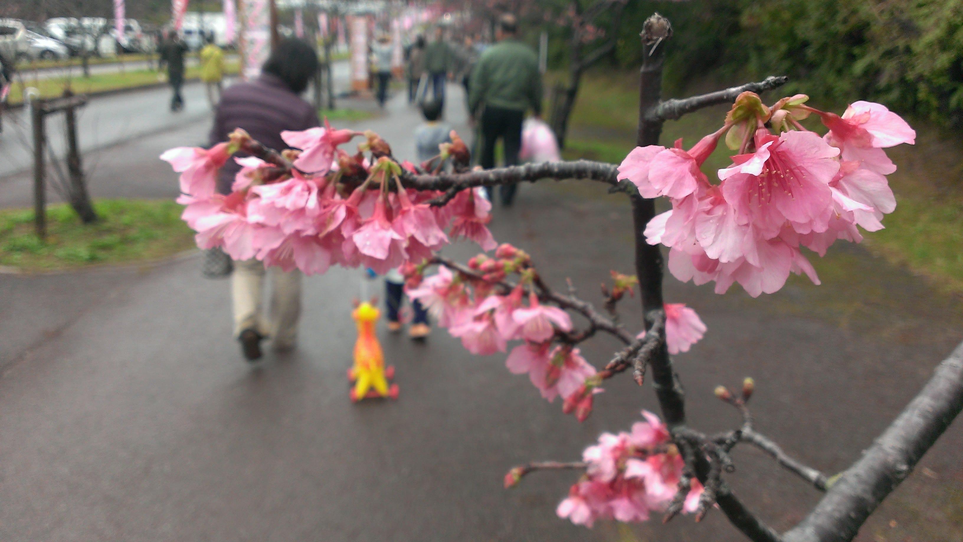 Okinawa Hai Cherry Blossoms 2017 February Events Calendar